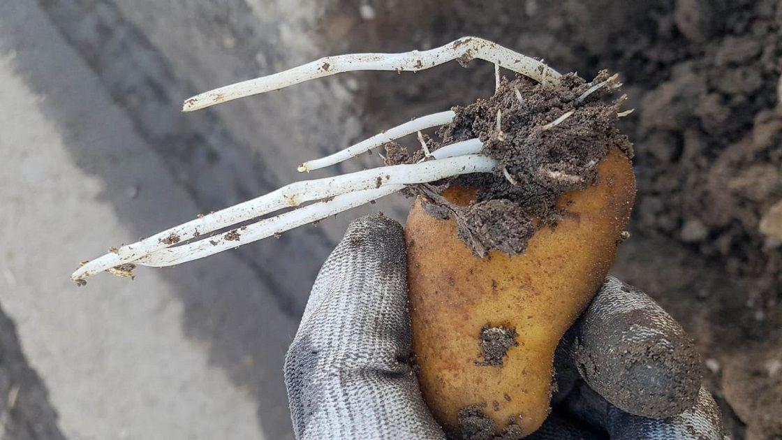 kiełkujący ziemniak2.jpg